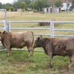Oakvale Square Meaters Cattle Stud