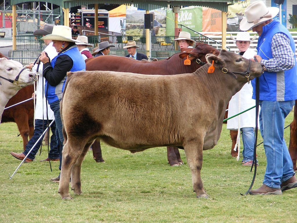 2019 Brisbane Royal Show 3rd in Lightweight Led Steer Class 1 325kg-350kg & winner of lightweight Eating Quality Award