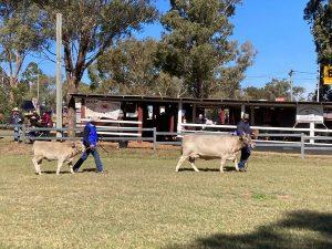 Oakvale Never Enough with Bull Calf Oakvale Samson at foot.