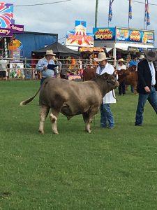 Oakvale Real Time 2021 Murgon Show Grand Champion British Breed BullSM