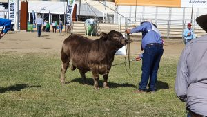 Oakvale Real Time Champion Calf Male Beef 2021